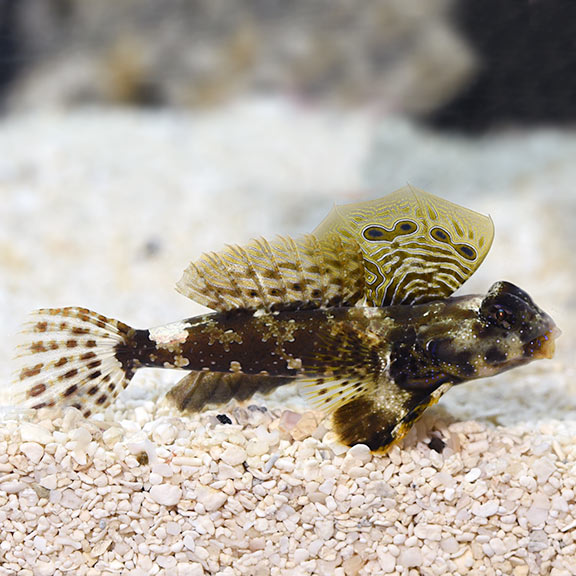 saltwater aquarium fish for marine aquariums scooter blenny