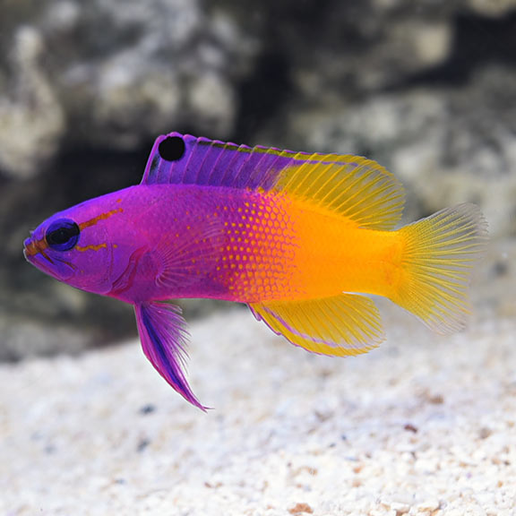 Royal Gramma Basslet Saltwater Aquarium Fish