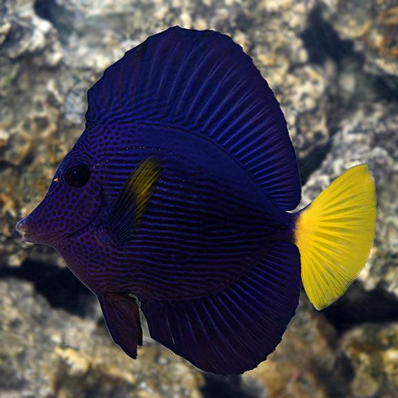 Purple Tang Saltwater Aquarium Fish For Marine Aquariums