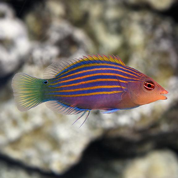 Saltwater Aquarium Fish For Marine Aquariums Six Line Wrasse Reef