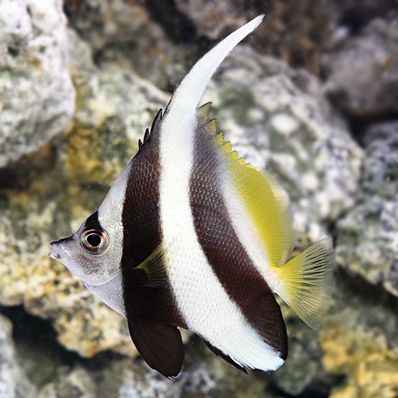 Heniochus Black White Butterflyfish Saltwater Aquarium Fish For Marine Aquariums