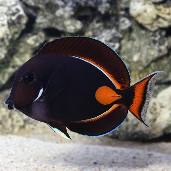 saltwater aquarium fish for marine aquariums achilles tang