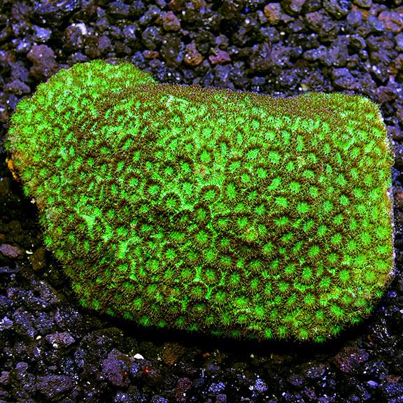 Saltwater Aquarium Corals For Marine Reef Aquariums Brain Coral