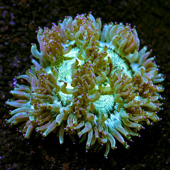 Saltwater Aquarium Corals For Marine Aquariums Elegance Coral Lps