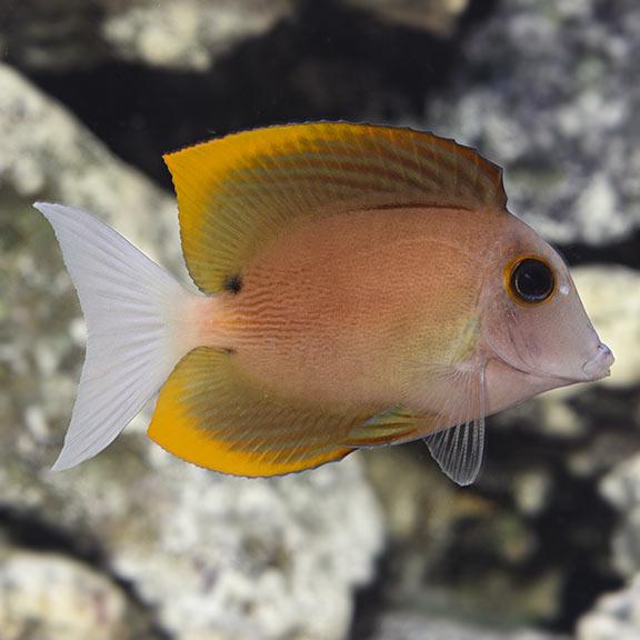saltwater aquarium fish for marine aquariums bristletooth tomini tang