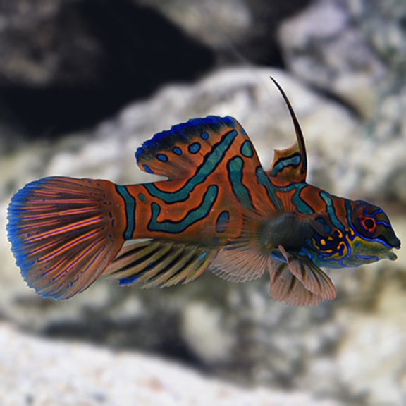 Saltwater Aquarium Fish For Marine Aquariums Red Mandarin
