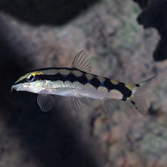 Dwarf Chain Loach Tropical Fish For Freshwater Aquariums