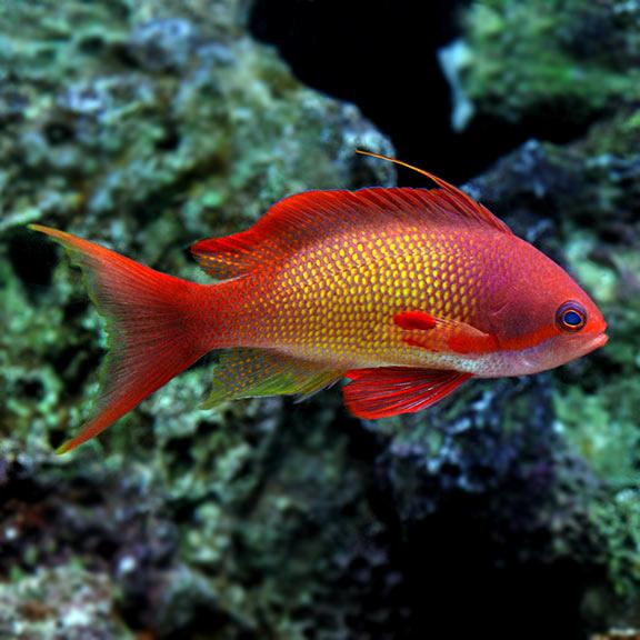 Saltwater Aquarium Fish For Marine Aquariums Indian Ocean Lyretail