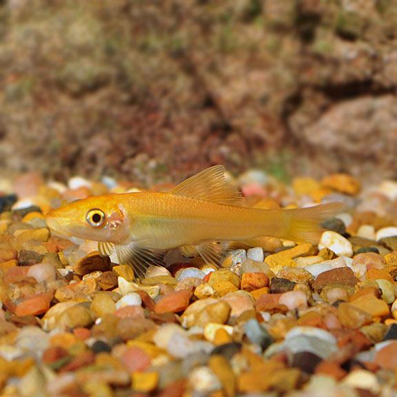 Gold Algae Eaters Tropical Freshwater Aquarium Fish
