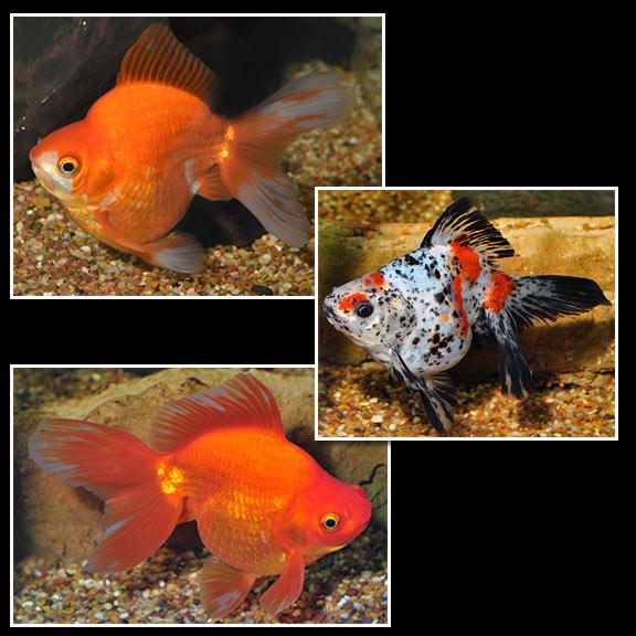 Fw Ryukin Goldfish Assorted