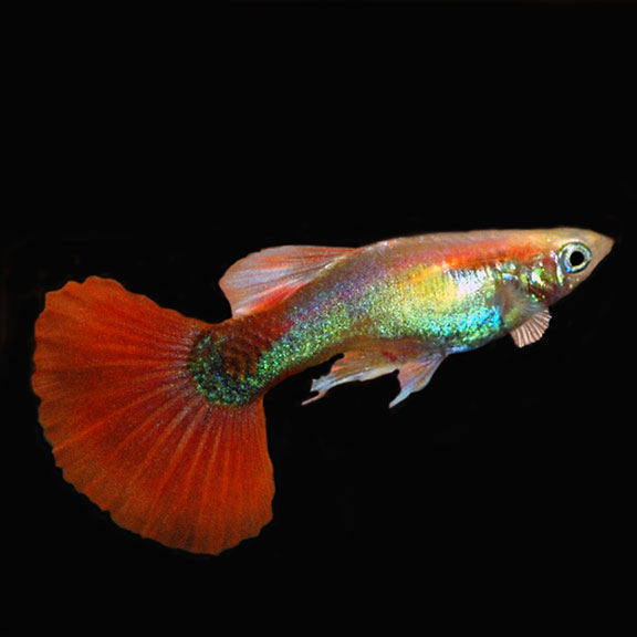FW - Red Fire Guppy (Pair)