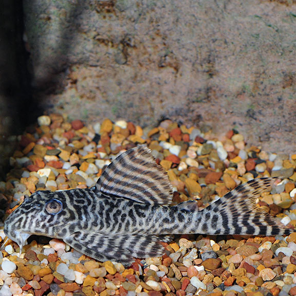 FW - Gypsy King Tiger (L-66) Plecostomus - Medium