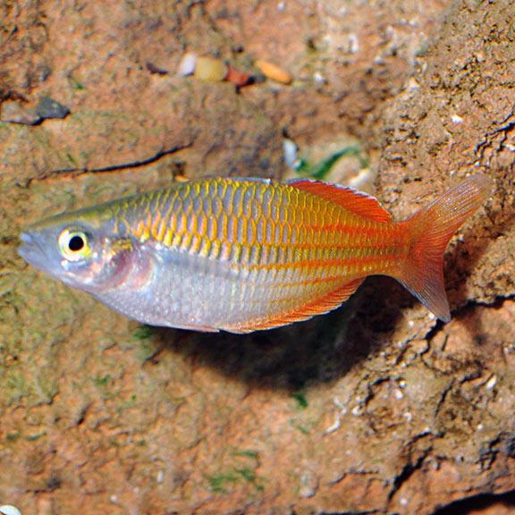 tropical fish for freshwater aquariums boesemani rainbow