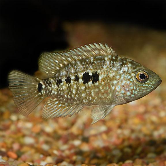 Freshwater Aquarium Fish Texas Cichlid