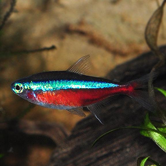 Cardinal Tetra Tropical Fish For