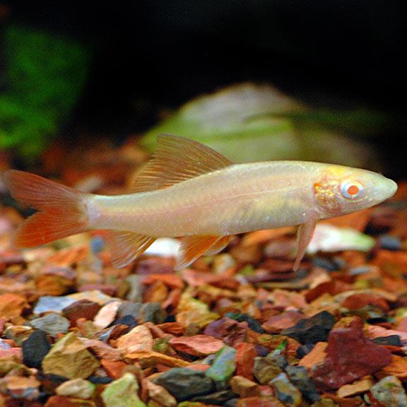tropical freshwater aquarium fish albino rainbow shark
