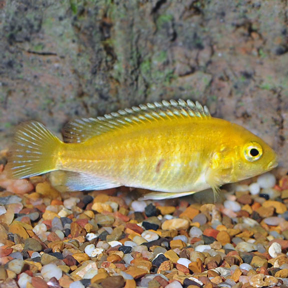 tropical fish for freshwater aquariums electric yellow malawian