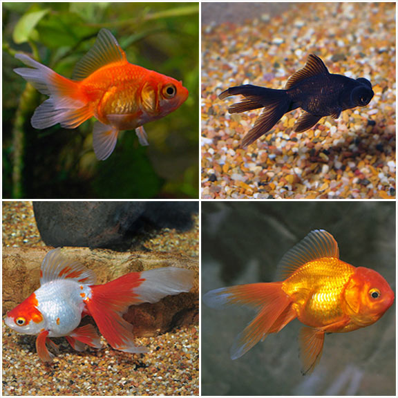 Po Fancy Goldfish 20 Pack