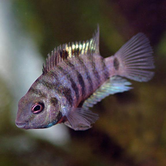 Tropical Fish For Freshwater Aquariums Black Convict Cichlid