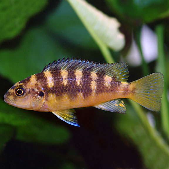 tropical fish for freshwater aquariums bumblebee cichlid