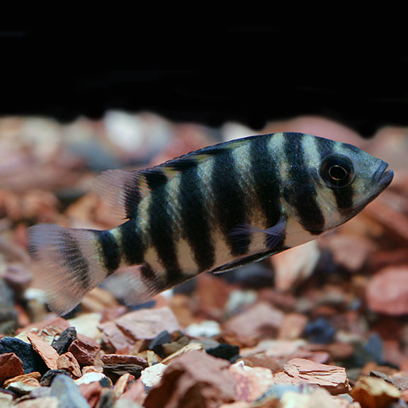 Tropical Fish For Freshwater Aquariums Butterikoferi African Cichlid