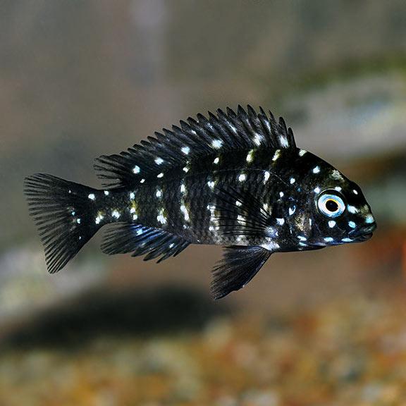 Tropical Fish For Freshwater Aquariums Duboisi African Cichlid
