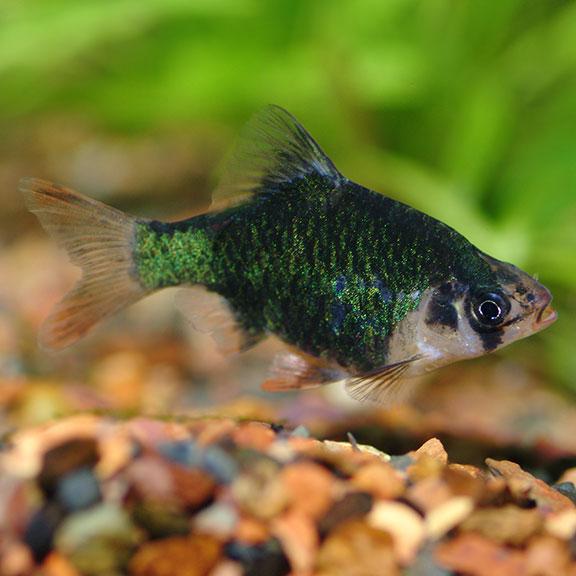 Tropical Fish For Freshwater Aquariums Green Tiger Barb