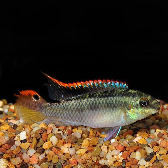 Tropical Fish For Freshwater Aquariums Kribensis Cichlid