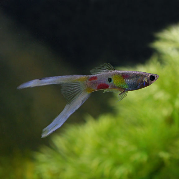 tropical fish for freshwater aquariums lyretail guppy livebearers