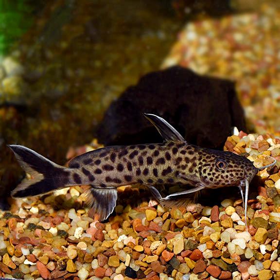 Dwarf Petricola Synodontis Catfish Tropical Fish For Freshwater Aquariums
