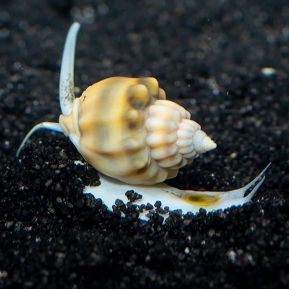 Super Tongan Nassarius Snail