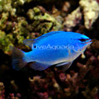 Blue Damselfish