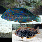 Leopard Wrasse EXPERT ONLY