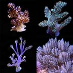 LiveAquaria® Certified Assorted Soft Coral Frag 4 Pack, Aquacultured