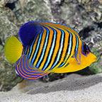 Regal Angelfish EXPERT ONLY