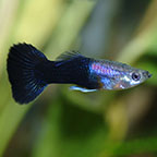 Black Guppy, Male