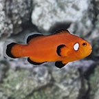 Nearly Naked Ocellaris Clownfish, Captive-Bred